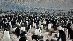 Nadando com os pinguins na Ilha de Paulet na Antártida