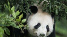 Diplomacia-Panda facilita acordos comerciais do regime chinês