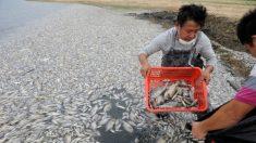 Mais de sete toneladas de peixes mortos em lago no Sul da China