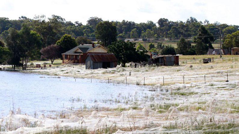Milhões de teias de aranha cobrem campos australianos após enchente