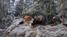 Amizade animal existe, veja imagens de cão e raposa brincando