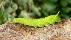 Butantan descobre substâncias em lagartas que neutralizam vírus H1N1