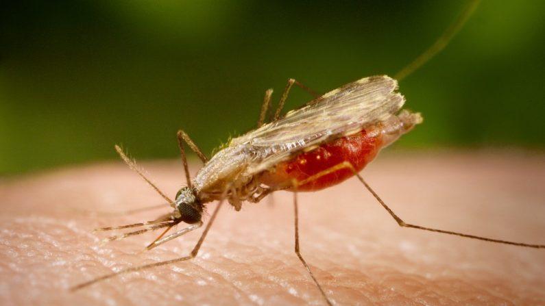 Mosquitos transgênicos serão liberados no Panamá neste fim de semana