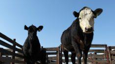 Antibióticos na carne, biscoitos de grilo e fome