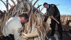 Banir o marfim não salvará os elefantes