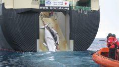 Pesquisa aponta que 60% dos japoneses são a favor da caça à baleia