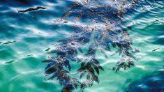 Alga Kelp: uma das plantas mais úteis do mundo