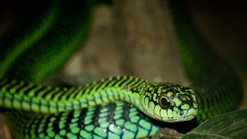 As nove cobras mais mortais do mundo