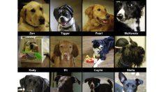 Cães reagem emocionalmente a odores de pessoas queridas ausentes