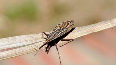 USP desenvolve nova substância para tratar doença de Chagas