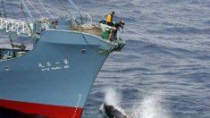 Japão deverá manter caça às baleias no Pacífico Norte