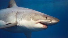 Novo estudo constata grande longevidade do tubarão branco