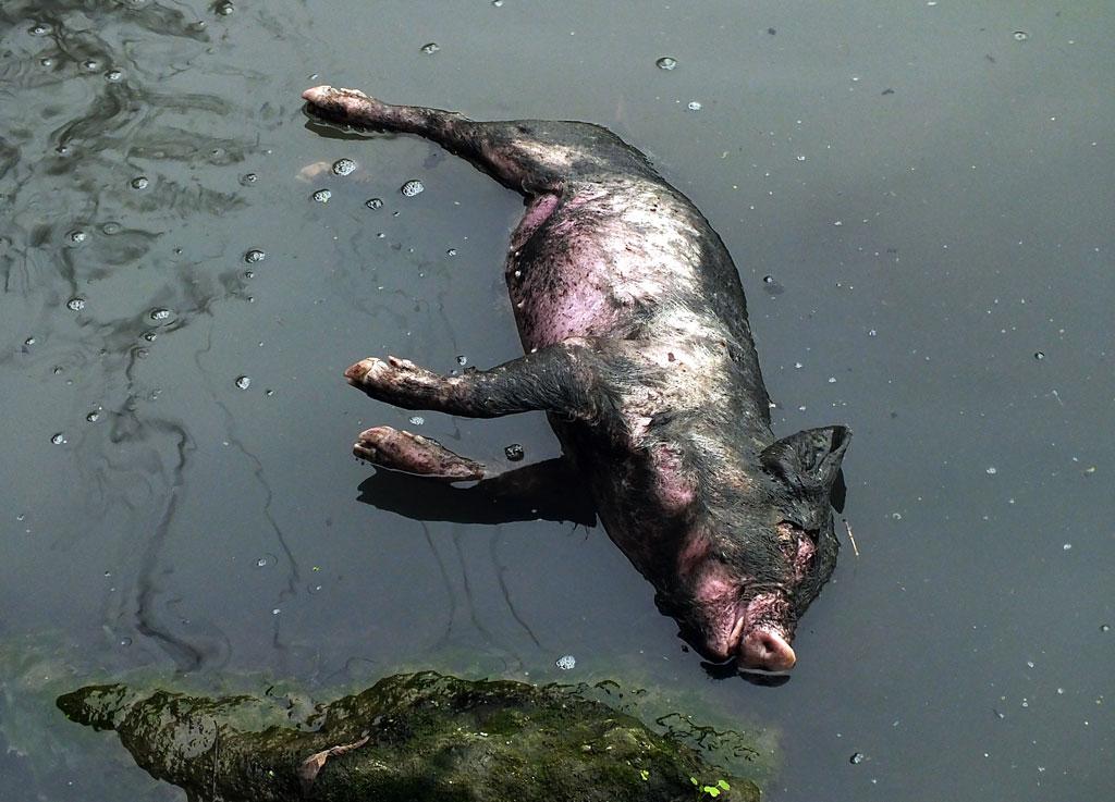 Um porco morto num afluente do rio Yangtzé, na província de Hebei, Centro da China, em março de 2013. Mais de 13 mil porcos mortos foram encontrados boiando nos rios chineses em 2013 (STR/AFP/Getty Images)