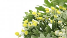 Saiba mais sobre a Artemisia: A erva do ano de 2014