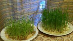 Broto de trigo: um super alimento e fácil de produzir