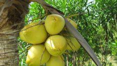 Kefir de água de coco: uma bebida altamente salutar