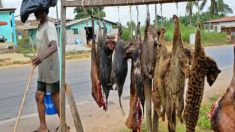 O surto de Ebola e a carne de animais selvagens