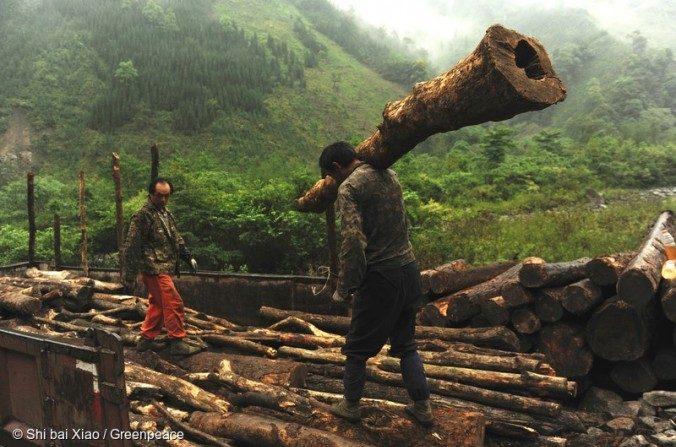 Enorme desmatamento na China ameaça lar dos pandas gigantes