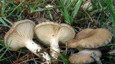 Cogumelo orellana é considerado por especialistas como o alimento do futuro