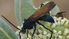 Ferroada desse inseto causa dor infernal, dizem especialistas