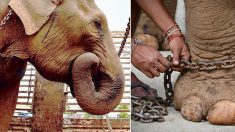 Após 40 anos de trabalho forçado, elefoa é libertada, mas se nota algo diferente