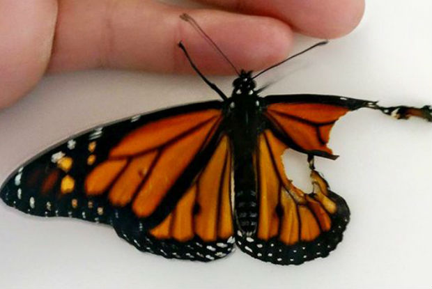"Após ""implante"" de asa, borboleta recupera a vida (Vídeo)"