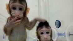 China cria primeiros macacos clonados do mundo