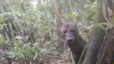 Câmera captura imagens fascinantes de cachorro selvagem da Amazônia