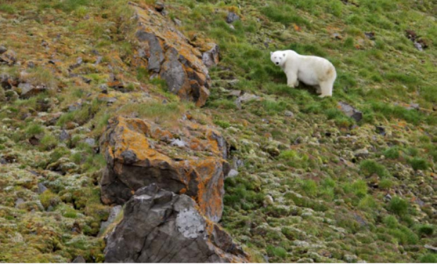 Uma gorda fêmea prenha sobe ladeira íngreme em Franz Josef Land, no setor russo do mar de Barents durante o verão