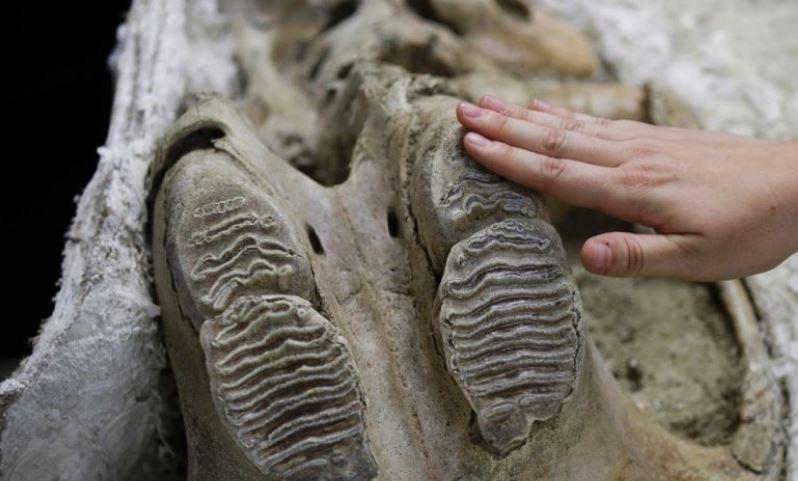 O crânio de um mamute que foi descoberto sob a cidade de Los Angeles, EUA (AP)