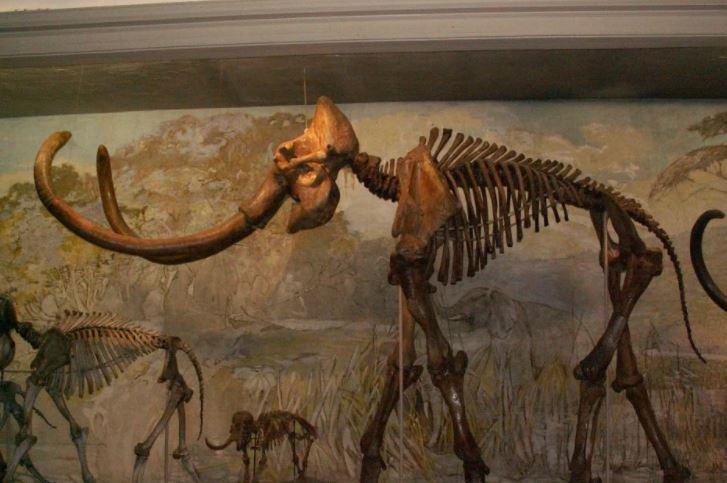 O esqueleto completo de um mamute no Museu da Universidade de Nebraska (Universidade de Nebraska)