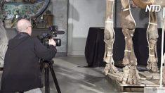 Esqueletos raros de mamute são postos em exibição, más há mais uma surpresa especial
