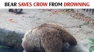 Urso encontra pássaro se afogando na água, mas o que ele faz é surpreendente
