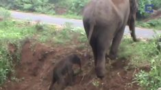 Bebê-elefanta tem dificuldade para subir terreno inclinado, então mãe vem em seu auxílio