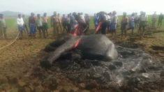 Elefante fica preso num pântano por 20 horas, mas aldeões juntam forças para ajudá-lo
