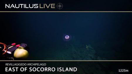 À distância parece fogo de artifício, mas como é embaixo d'água, é de fato uma criatura fascinante. Confira!