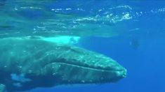Mergulhadora é ameaçada por grande tubarão, mas o que vem socorrê-la é fascinante
