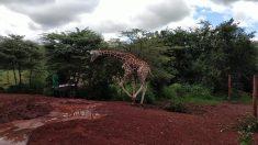 Filhote de girafa está excitado com visita de turistas. Então ele resolve se aproximar um tanto demais!