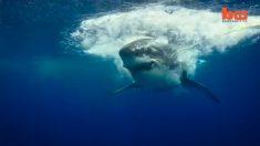 Veja esse vídeo incrível de um enorme tubarão-branco perseguindo sua presa
