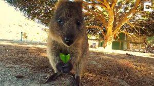Você já viu um quokka? Conheça um desses marsupiais adoráveis!