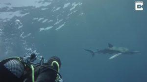 Equipe de mergulho encontra tubarão-azul e ele faz algo inusitado. Confira!