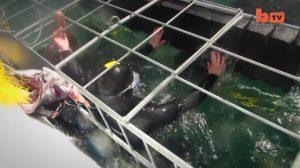 Grande tubarão-branco ataca jaula com mergulhadores novatos. É de arrepiar!