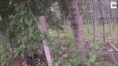 Urso-preguiça fica preso em arame farpado, mas socorristas chegam a tempo