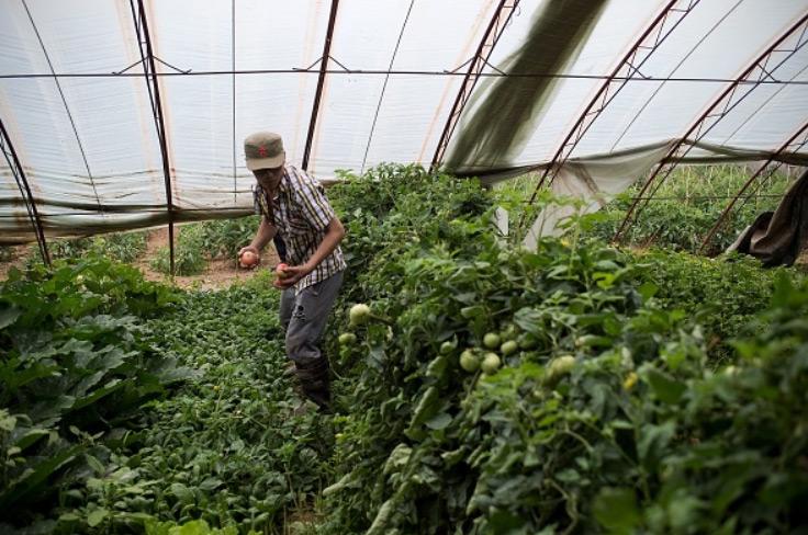 Um trabalhador chinês colhe tomates numa fazenda de vegetais orgânicos na periferia de Pequim em 5 de junho de 2017 (Nicolas Asfouri/AFP/Getty Images)