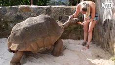 Tartaruga gigante é alimentada por cuidadora. É fascinante!