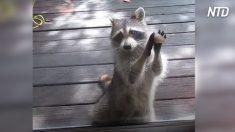 Guaxinim bate na porta para pedir comida