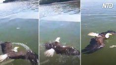 Pescadores encontram águia indefesa na água e a socorrem. Veja-a voar novamente!