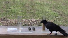 Corvo coloca pedras em recipientes d'água para acessar comida em experimento que mostra sua inteligência. É fascinante!