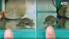 Mulher se põe dedo contra vidro do aquário e reação de minitartaruga é a mais engraçada