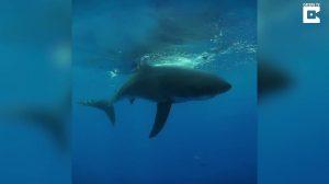 Tubarão branco é flagrado em praia do México